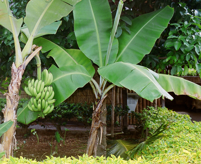 Banana Tree at the Polynesian Cultural Center, Honolulu
