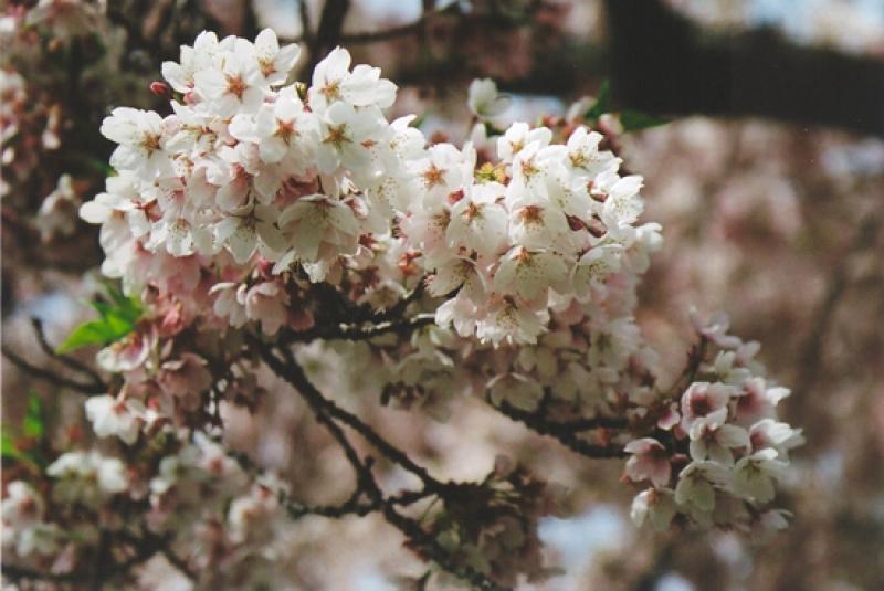 cherry11_0